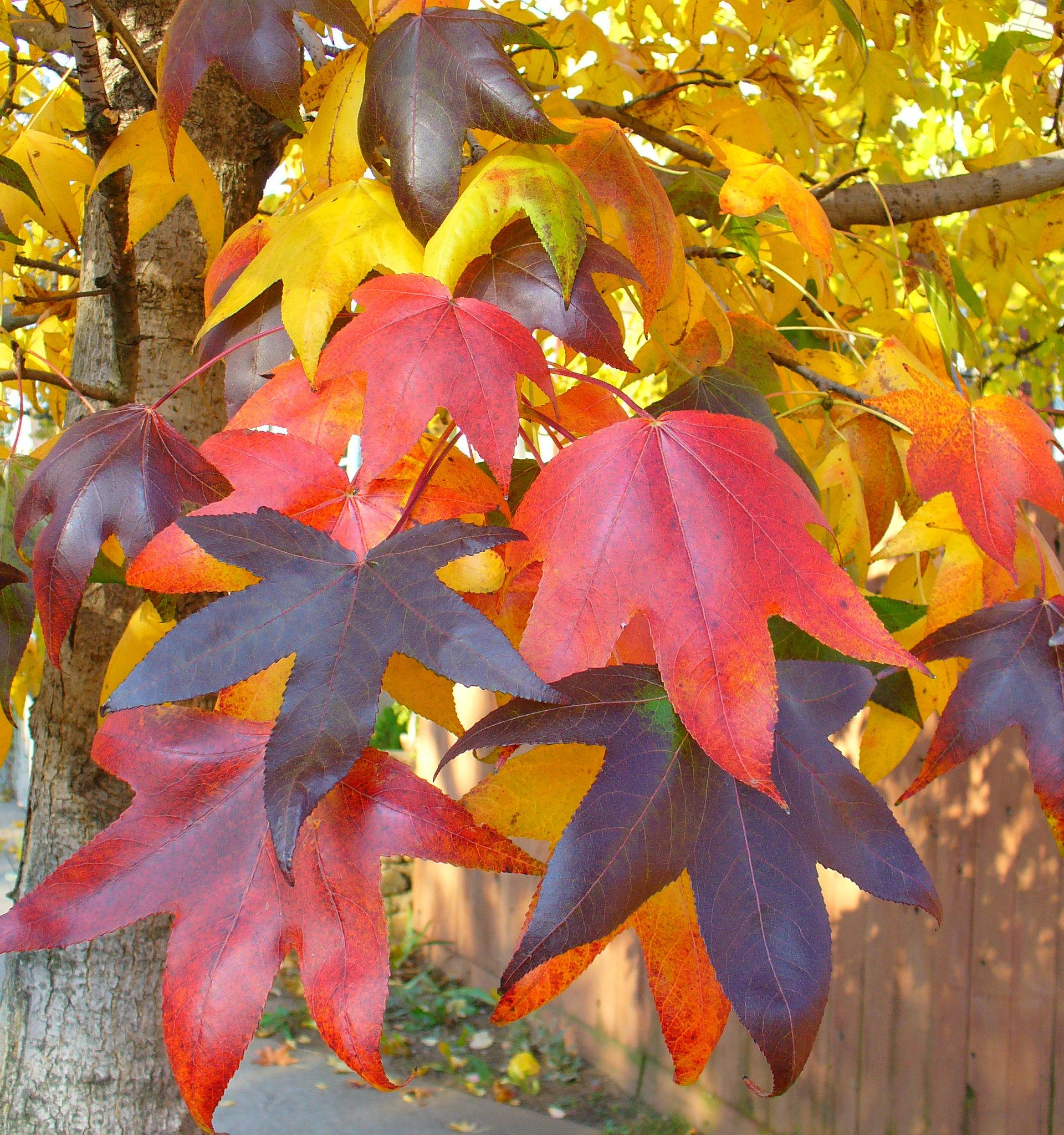 Plant These Trees for Spectacular Fall Color · Just Savor It