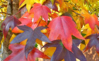 fall foliage on sweet gum tree