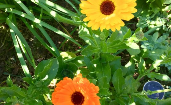 Calendula - Low maintenance plants
